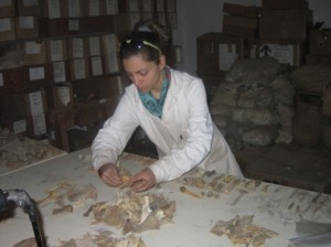 Study and classification of the Pharaonic animal bones from Sai.