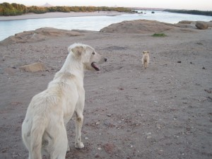 The least complicated dogs on Sai Island...
